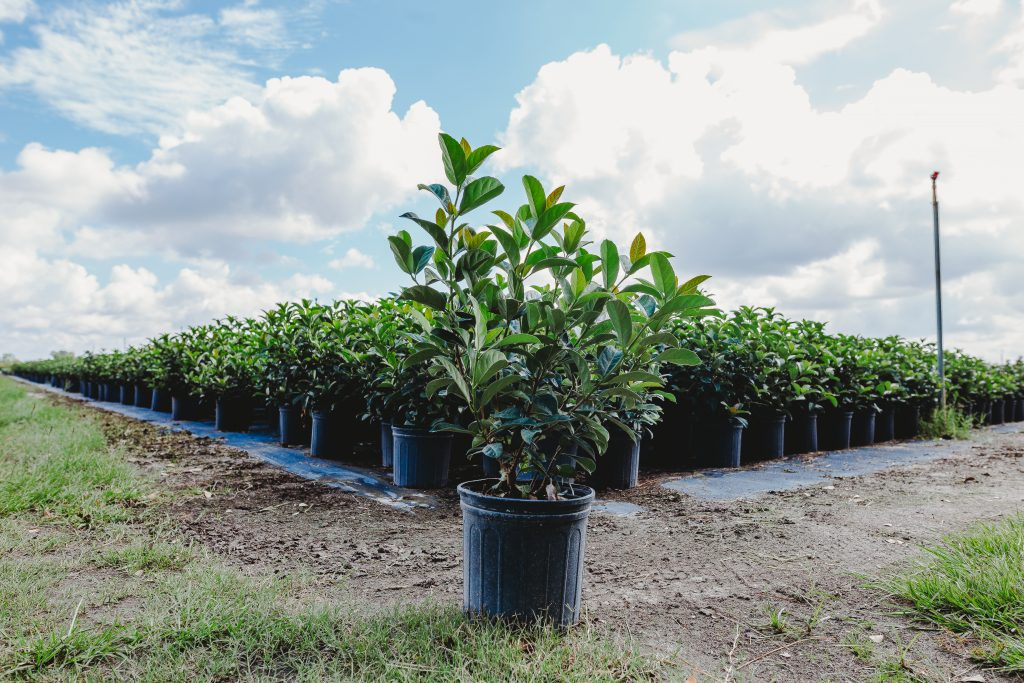 Viburnum odoratissimum - County Line Ornamental & Tree - Mount Dora, FL - wholesale nursery
