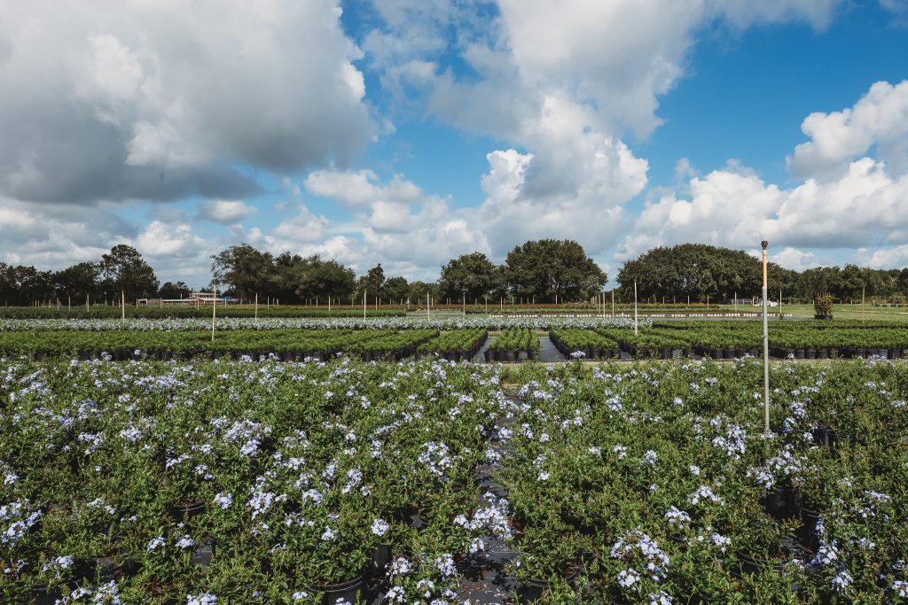 County Line Ornamental & Tree - wholesale landscape nursery in Mount Dora, FL // Central Florida // Orlando