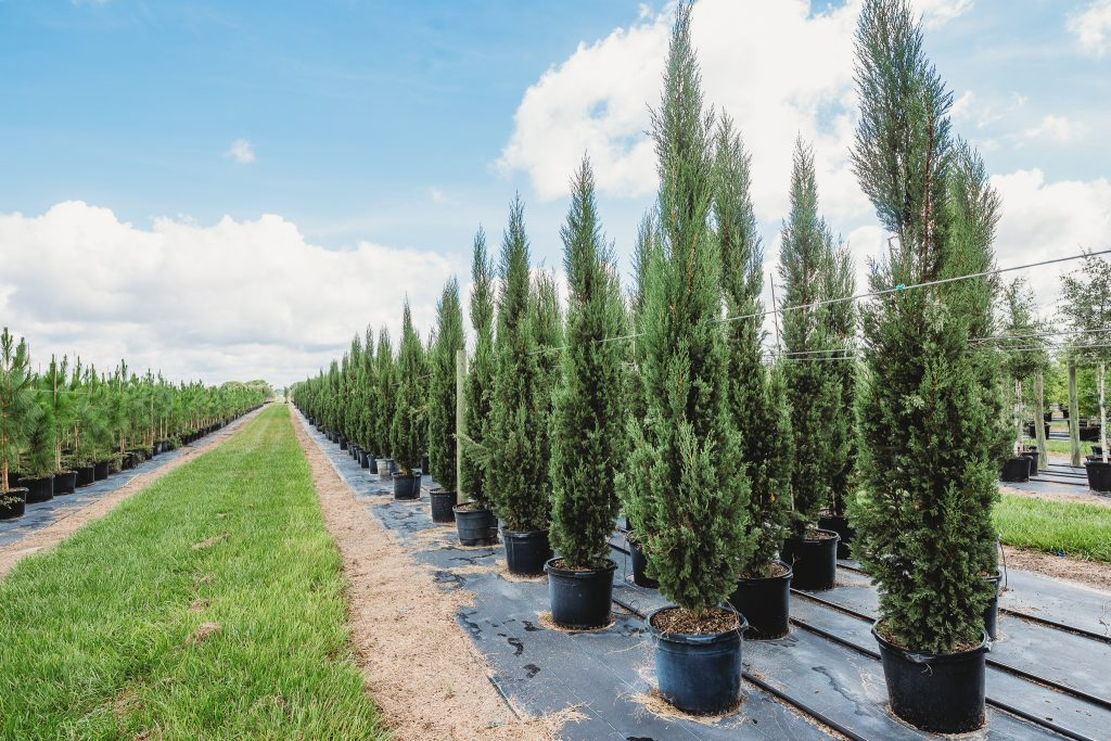 Italian Cypress trees - County Line Ornamental & Tree